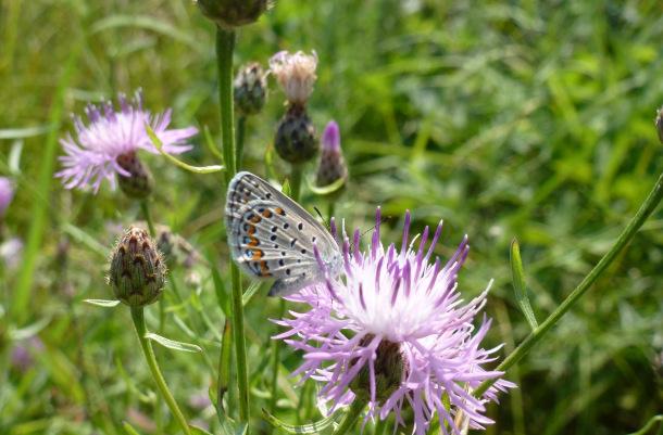 2. Karner Blue Butterfly