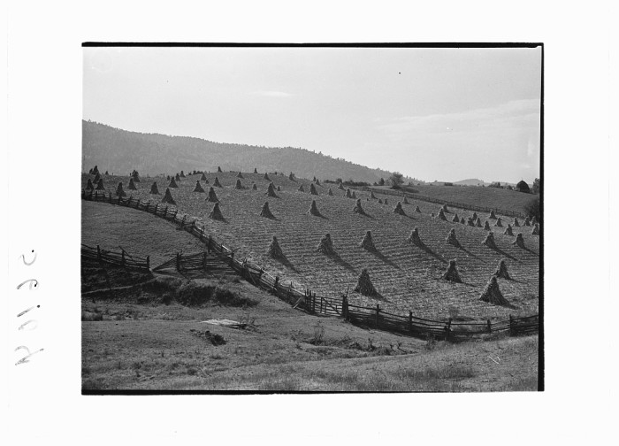 10. A farm in Marion shows the bounty of its harvest with neatly arranged corn shocks, 1940.