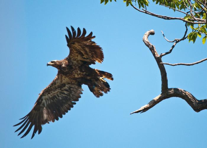 Mason Neck Eagle