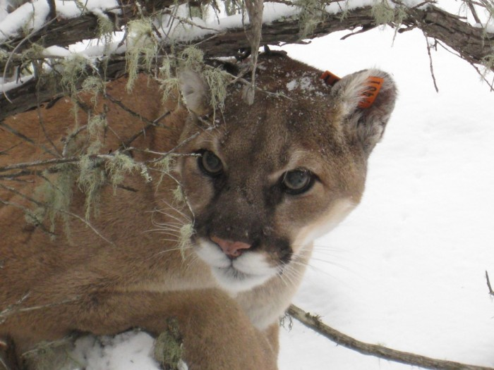 4. Mountain Lions in Indiana