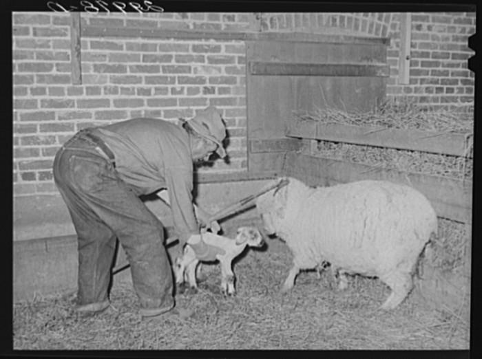 "13. ""Sheepherder with newborn lamb and ewe in lambing shed. Dangberg Ranch, Douglas County, Nevada."""