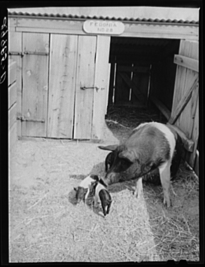 """5. """"Brood sow with pigs. Dangberg Ranch, Douglas County, Nevada."""""""