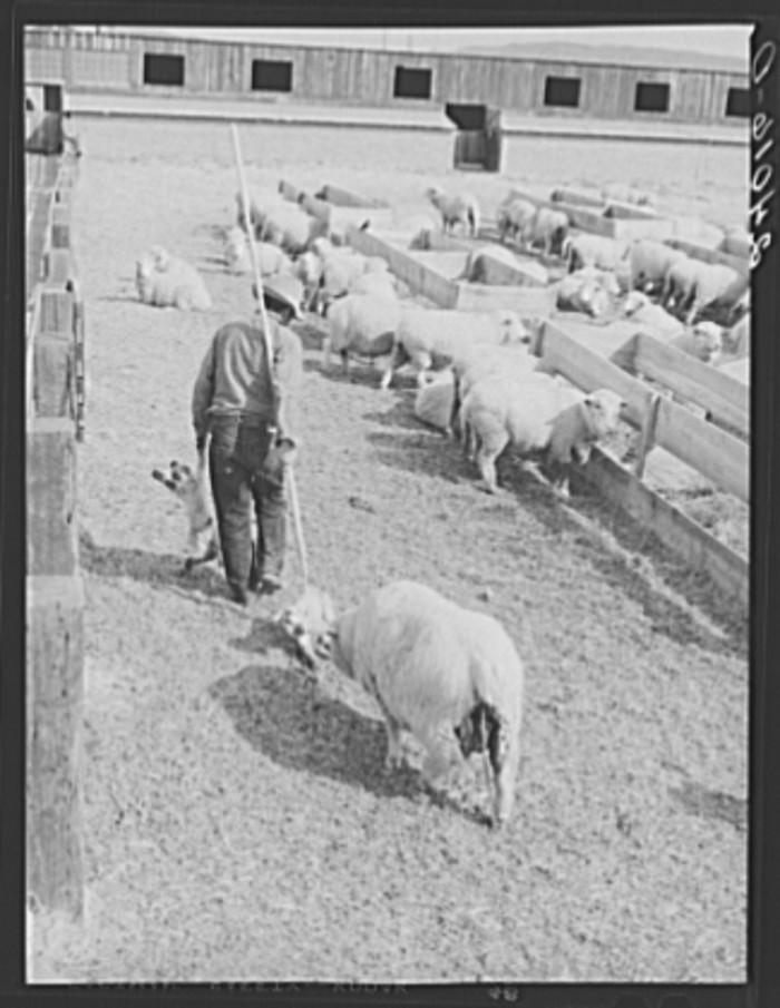 "4. ""Ewe following sheepherder with newborn twin lambs to lambing shed. Dangberg Ranch, Douglas County, Nevada."""