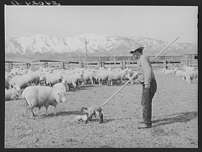 "2. ""Sheepherder with ewe and newborn twin lambs. Dangberg Ranch, Douglas County, Nevada."""