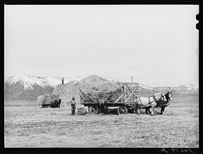 """6. """"Loading hay to be fed to cattle. Dangberg Ranch, Douglas County, Nevada."""""""