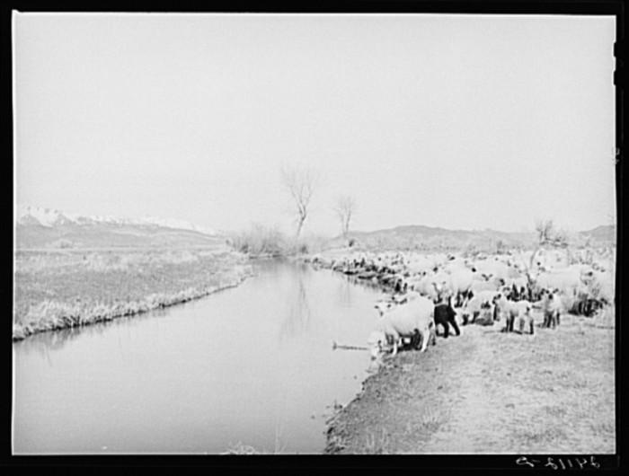 "9. ""Sheep watering at irrigation ditch. Danberg Ranch, Douglas County, Nevada."""