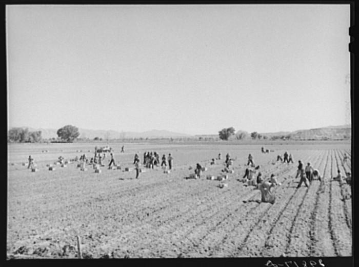 """10. """"Indians picking radishes on farm near Moapa Reservation, Nevada."""""""