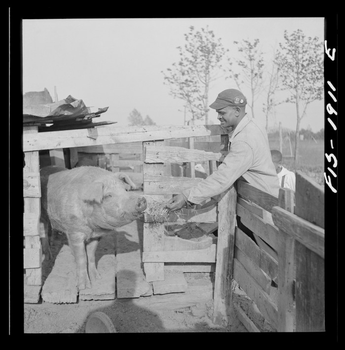 11. A Newport News shipyard worker feeds his animals on his rural farm, 1942.