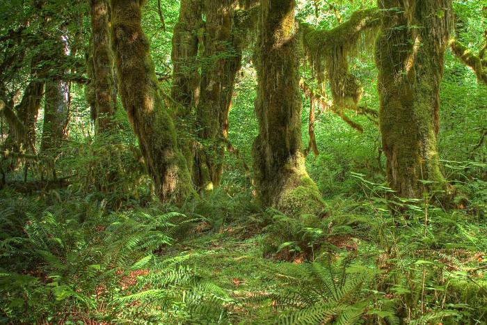 5. All three temperate rainforests in the contiguous United States can be found on the Olympic Peninsula.