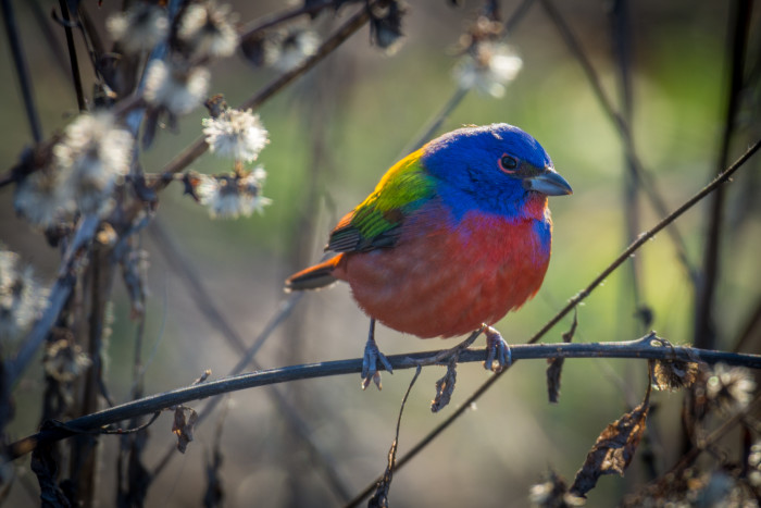 9. Painted Bunting