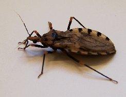 11. Kissing bug