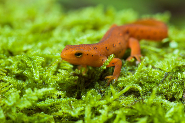 1. Eastern (Red-Spotted) Newt