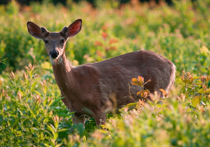 4. White-tailed Deer