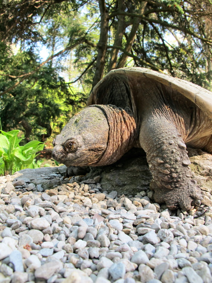 11. Snapping Turtle