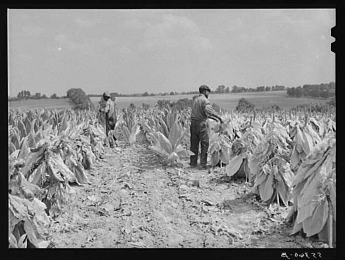 1. Workers cut burley tobacco.