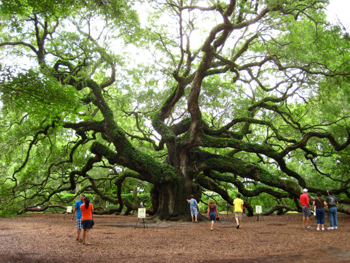 10. Do you know the name of this ancient tree on Johns Island?