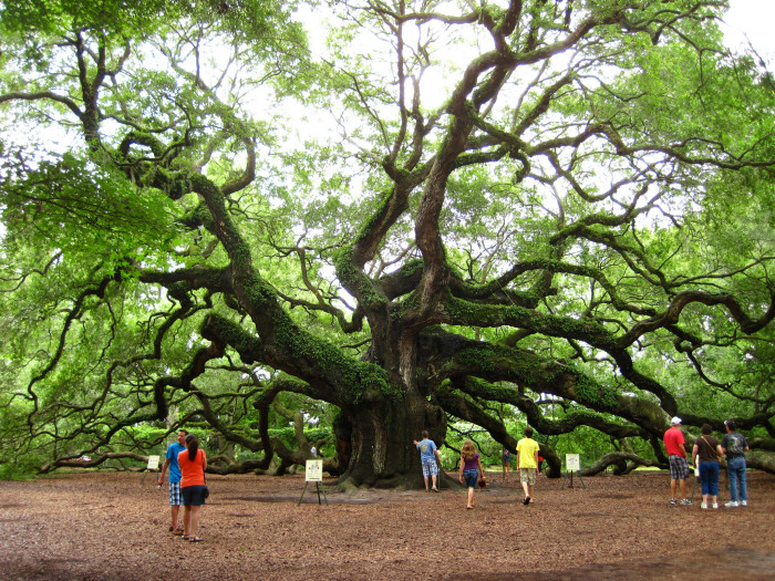 6. The Angel Oak tree on Johns Island, SC is big enough to hide at least 25 Big Bad Wolves.