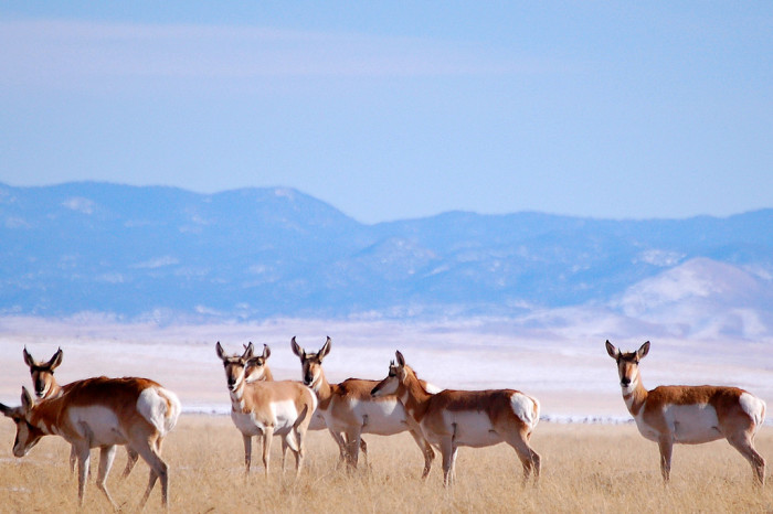 8. Pronghorn antelope are native to several states within the U.S., including New Mexico. When running at full speed, they can travel almost 60 miles per hour. This herd was roaming the plains of San Agustin.
