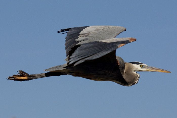 4. The great blue heron, which is the biggest heron in North America, is also found in New Mexico.