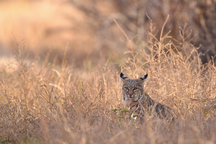 5. Although bobcats are often considered elusive, it's not surprising that one was spied at Bosque del Apache, because birds and small game are part of a bobcat's diet. These felines can leap up to ten feet in order to pounce on prey.