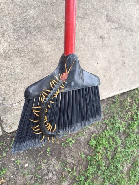 5. Texas-sized centipedes?