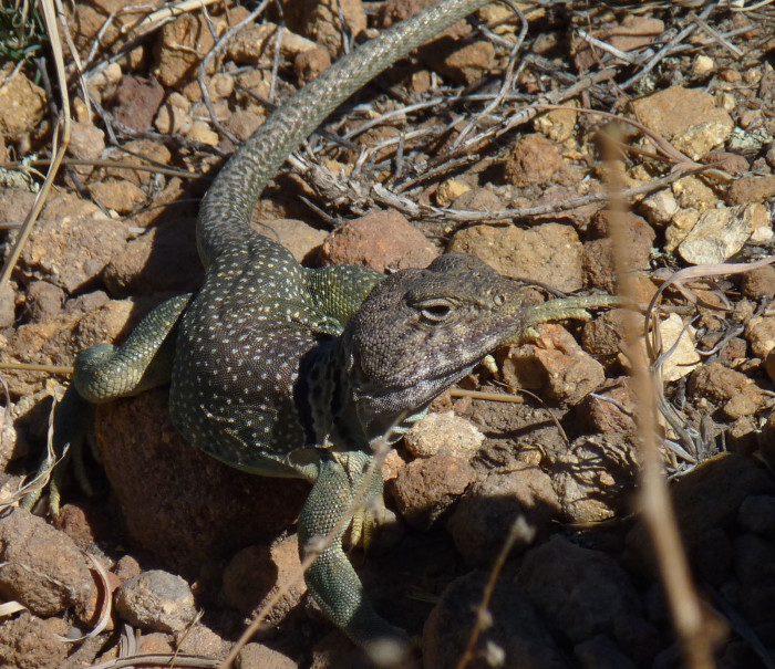 6. The Las Vegas National Wildlife Refuge is on the Central Flyway, a migration path for birds. Plenty of other animals, such as this collared lizard, live there as well.