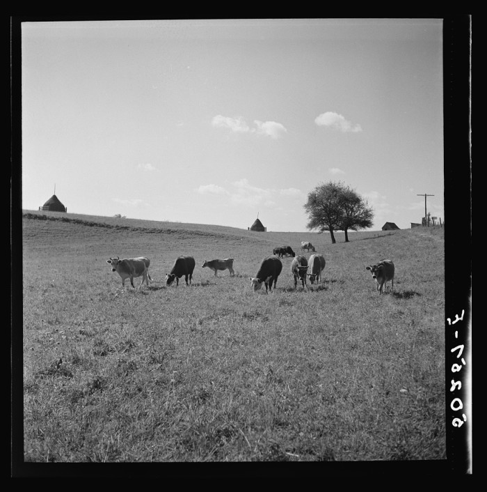 9. This picture of cows grazing in a field in Randolph County could be on a postcard.