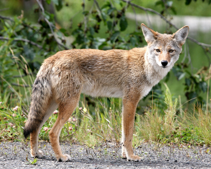 8. But they are completely unruffled by a coyote darting out into the road at night.