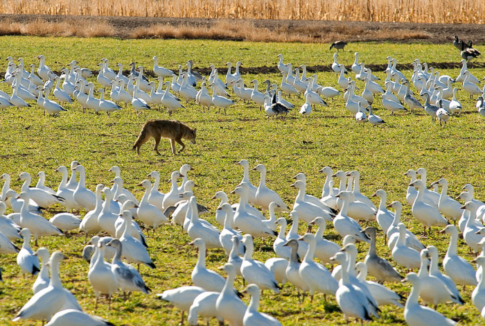 3. Snow geese pause at Bosque del Apache too. The photographer snapped this picture shortly before the coyote took a siesta amid the flocks of geese.