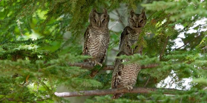 8. Eastern Screech Owl