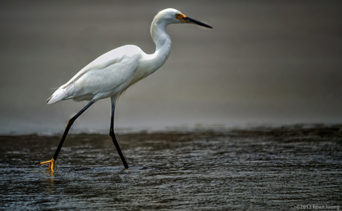 egret-hunting-island-state-park-huan-luong