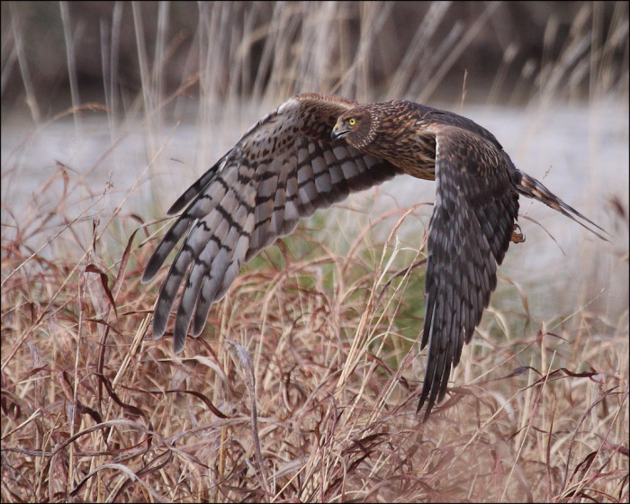 7. Female or young northern harriers are brown, whereas males have gray and white plumage. When hunting, they skim above grasslands and marshes and use their incredible sense of hearing to detect prey they cannot see.