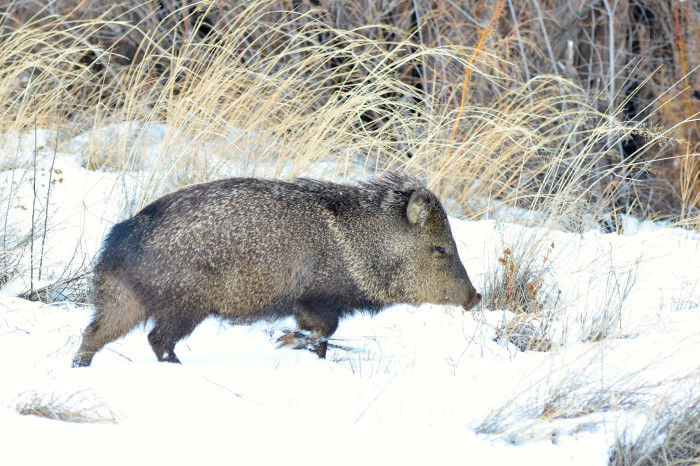 12. Javelina are native to New Mexico but, despite their appearance, they are not pigs.