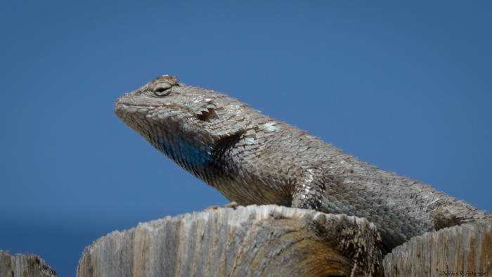 1. Desert spiny lizards often live in rodent burrows or are found beneath rocks. This particular spiny lizard was spotted in the south, central part of the state.