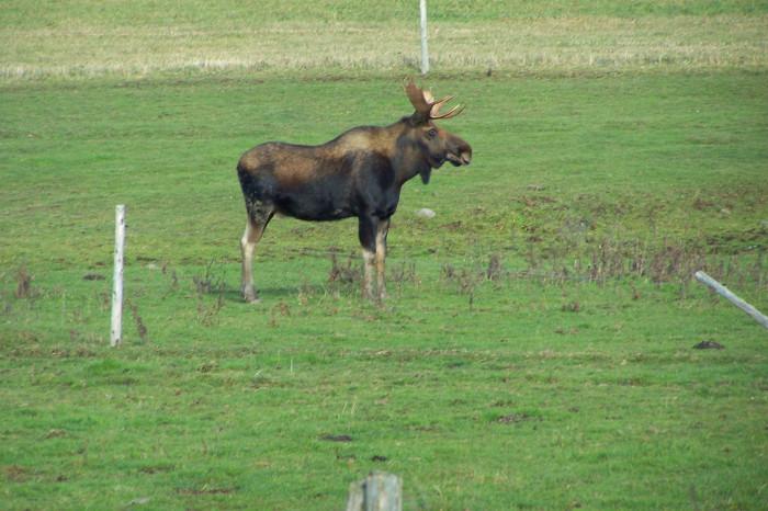 16. Moose