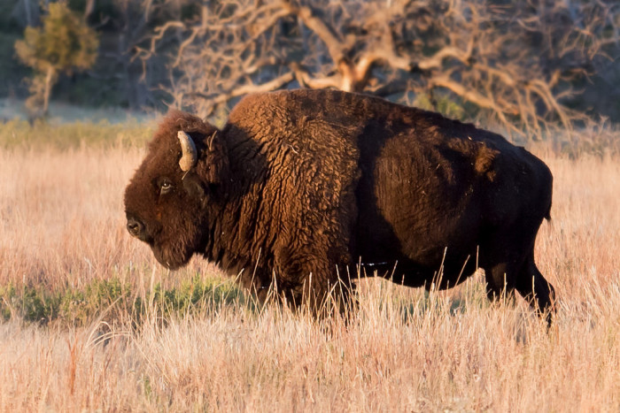 11. We really don't know the difference between a bison and a buffalo.