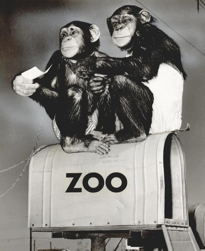 16. Chimpanzees Minnie and Moe, from the zoo in Oklahoma City, are helping retrieve the mail, 1957.
