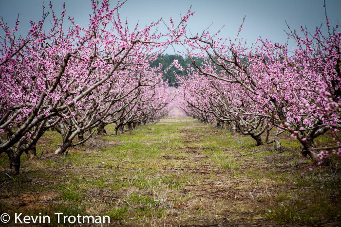 11. This South Carolina peach orchard wouldn't fare well in downtown Charleston, would it? Besides, there wouldn't be any room!