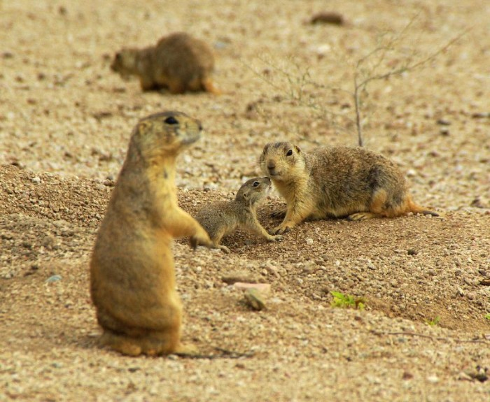 14. Prairie dogs burrows are a pain when you accidentally stick your foot in one, but they're actually useful. Burrowing makes it easier for water to penetrate the soil and other animals often seek shelter in abandoned burrows.