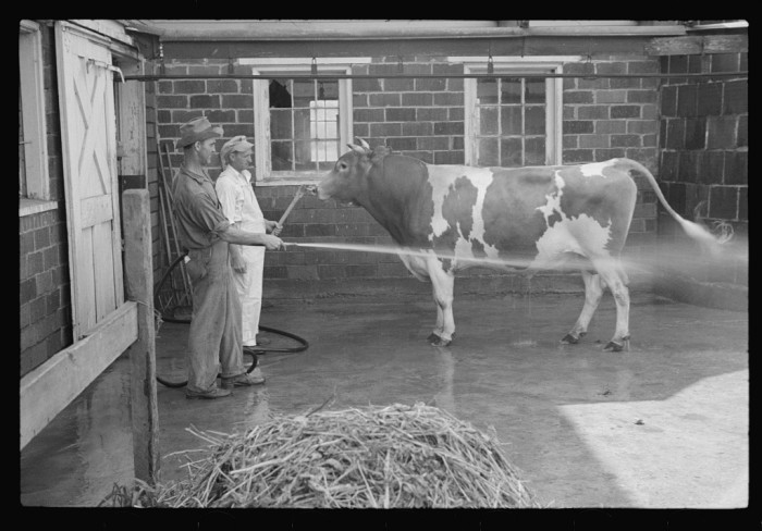 2. These men are washing a prize bull in Red House, 1937.