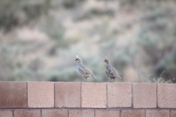 13. When quail descend from a wall they look like parachutists drifting through the air!