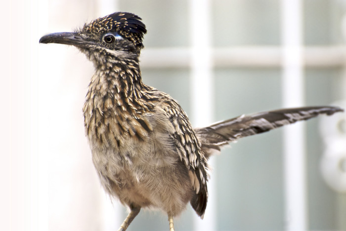 15. The roadrunner is New Mexico's state bird. As their name suggests, they are fast—zipping around at speeds up to 20 miles per hour. In fact, they're so quick that they are able to successfully hunt rattlesnakes!