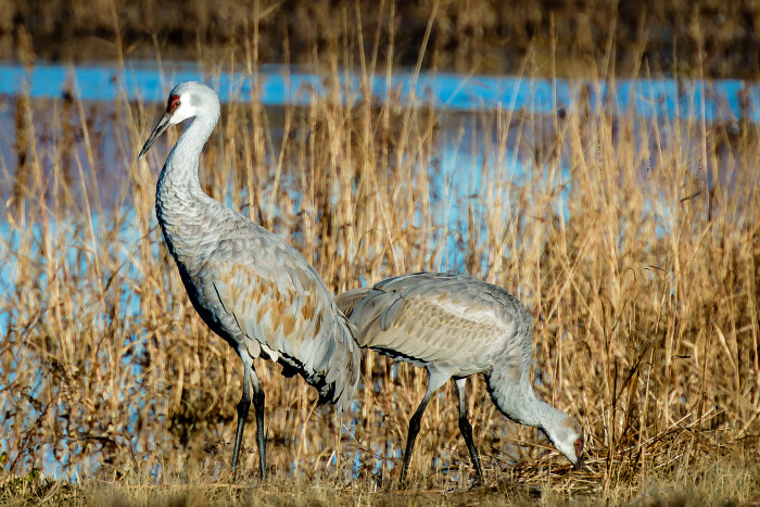 2. Bosque del Apache National Wildlife Refuge, just south of Socorro, serves as a stopover point for many migrating birds, such as these sandhill cranes. Some sandhill cranes have a wingspan of over five feet!