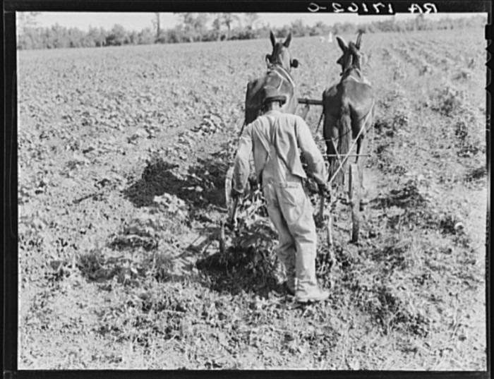 6. Sharecropper cultivating cotton with team.