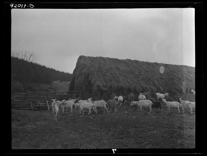 5. This is a picture of goats at a farm in Eleanor in April 1935.