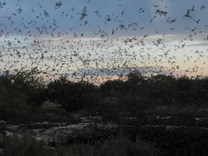 Today, the sinkhole is most well-known for the emergence of one to four million Mexican Free-Tailed Bats.