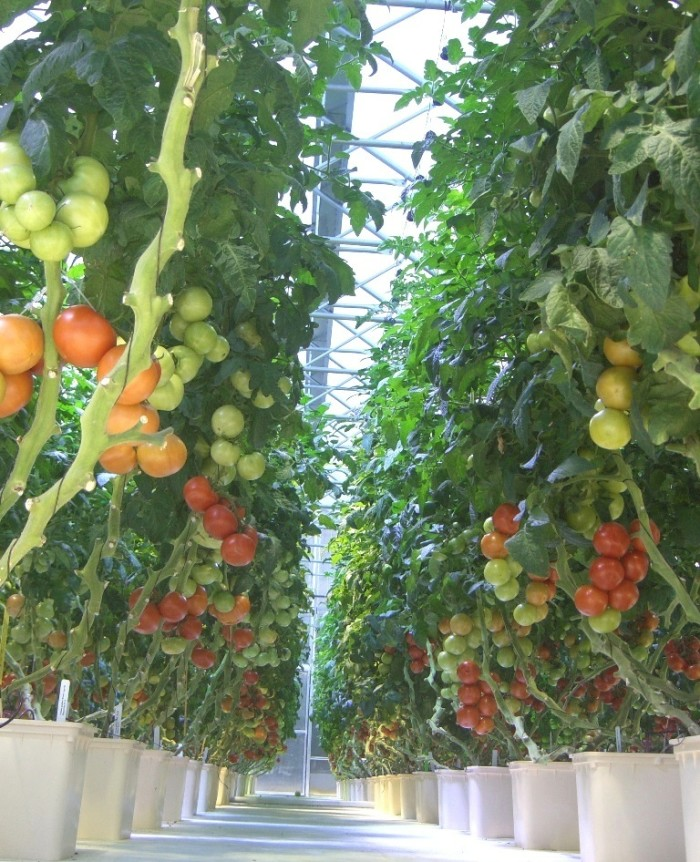 tomato+row