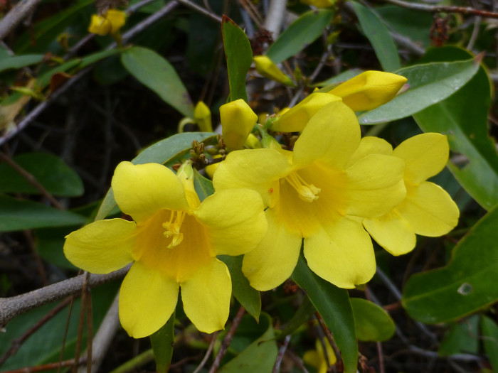 Y is for Yellow Jessamine