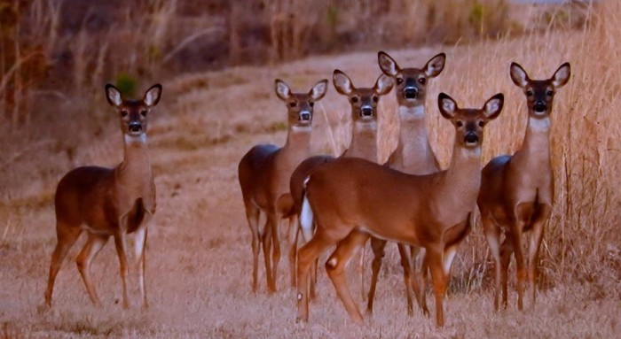 1. A group of deer is photographed in Amory.