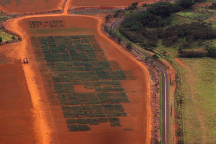 1. A magnificent aerial shot of a Kauai taro field.